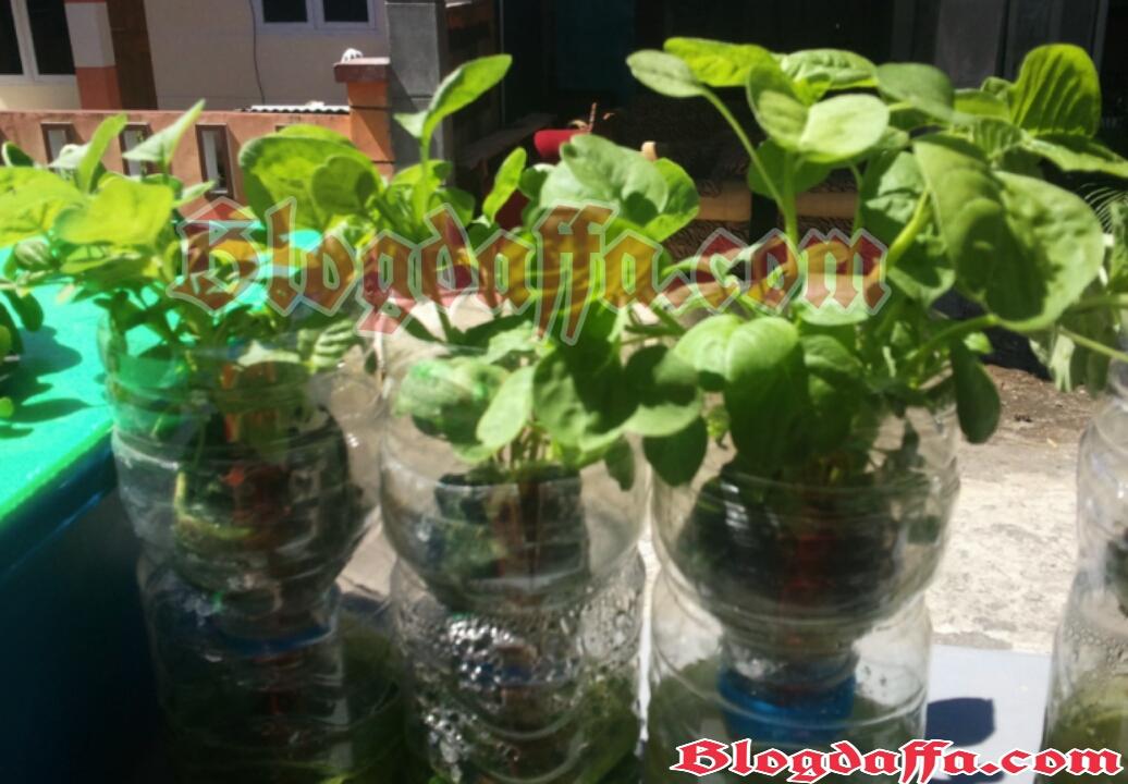 Cara Bertanam Hidroponik Dengan Botol Bekas Di Rumah