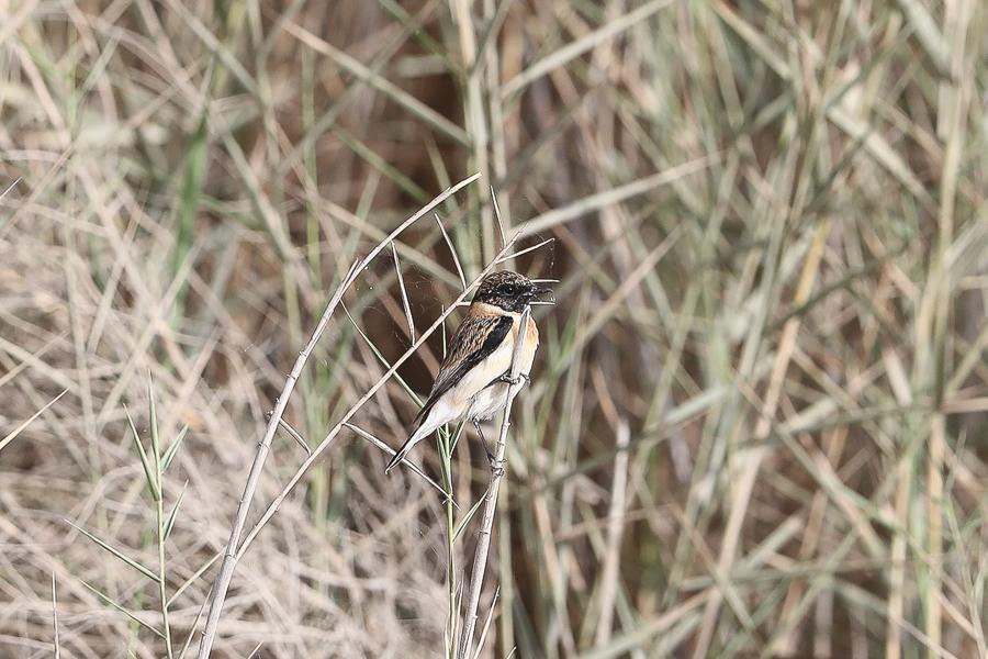 Saxicola torquatus variegatus