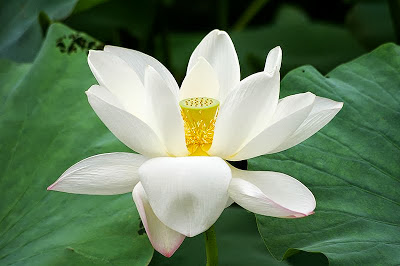 The golden, circular, lotus seed-pod in the center of the lotus flower. The lotus seed-pod is the symbolic equivalent of the golden Mount Meru.