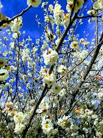 満開の白い桜のアップ