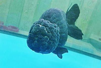 Gambar Ikan Mas Koki Meteor