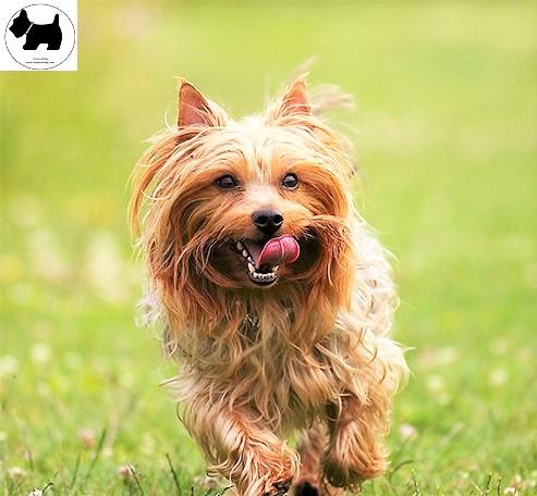 Cutest Dog Breeds, Best Dog, Lowchen Dog puppies