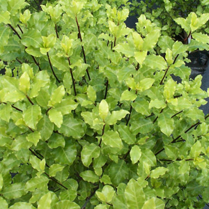Real World Gardener Pittosporum Tasman Ruffles In Plant Of The Week