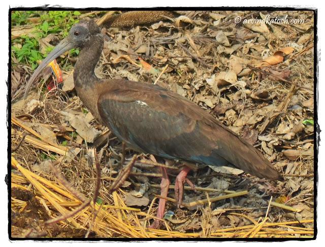 Black ibis, Indian Ibis,