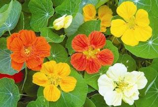 latin çiçeğinin faydaları