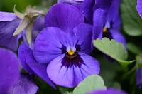 violet - βιολέτα