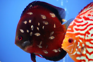 Different breeds of discus fish.