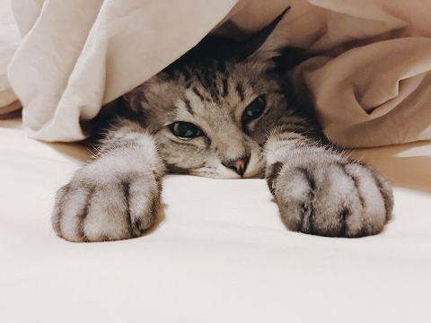 布団の中に潜って前足を出しているサバトラ猫