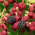 Best Tips On How To Grow Raspberries