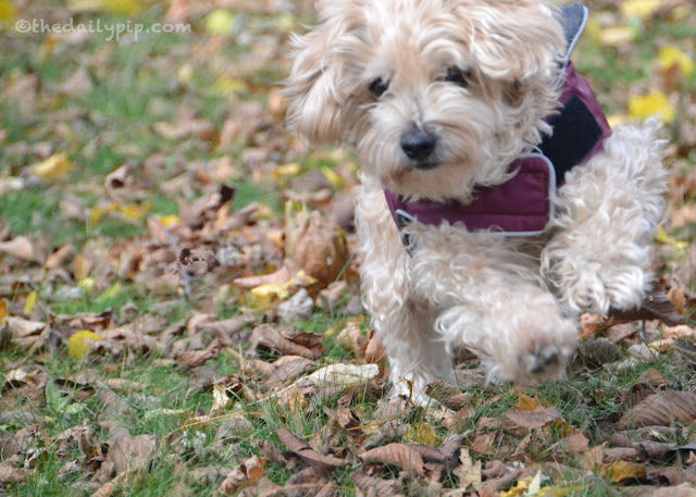 Ruby, the adorable Yorkie-Poo, feeling great after two weeks on New Zealand's Best Technyflex
