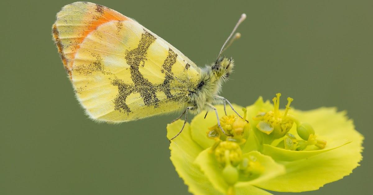 Hasta un 28% de las especies de mariposas de la Península podría estar sin  descubrir  3cb8e40a3ecc