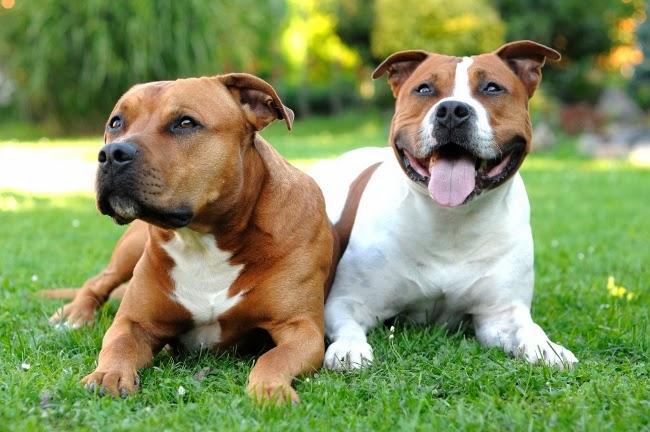 Pies stróżująco-obronny