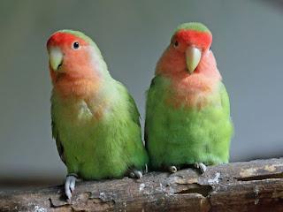 Harga Lovebird Muka Salem