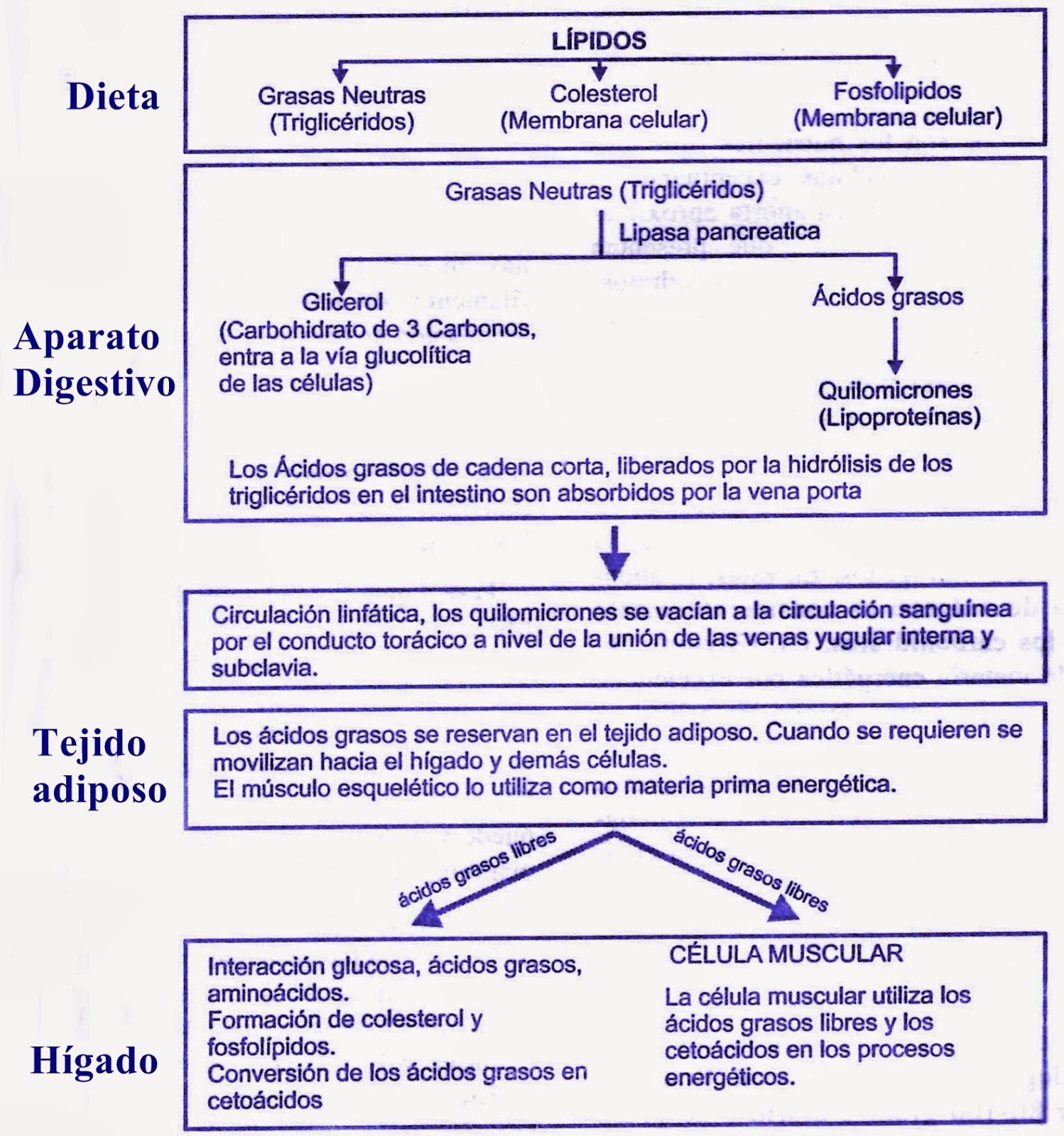 Metabolismo de las grasas (lípidos)
