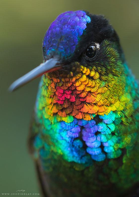 Un sensacional vista de 1° plano de un colibrí Garganta de Fuego