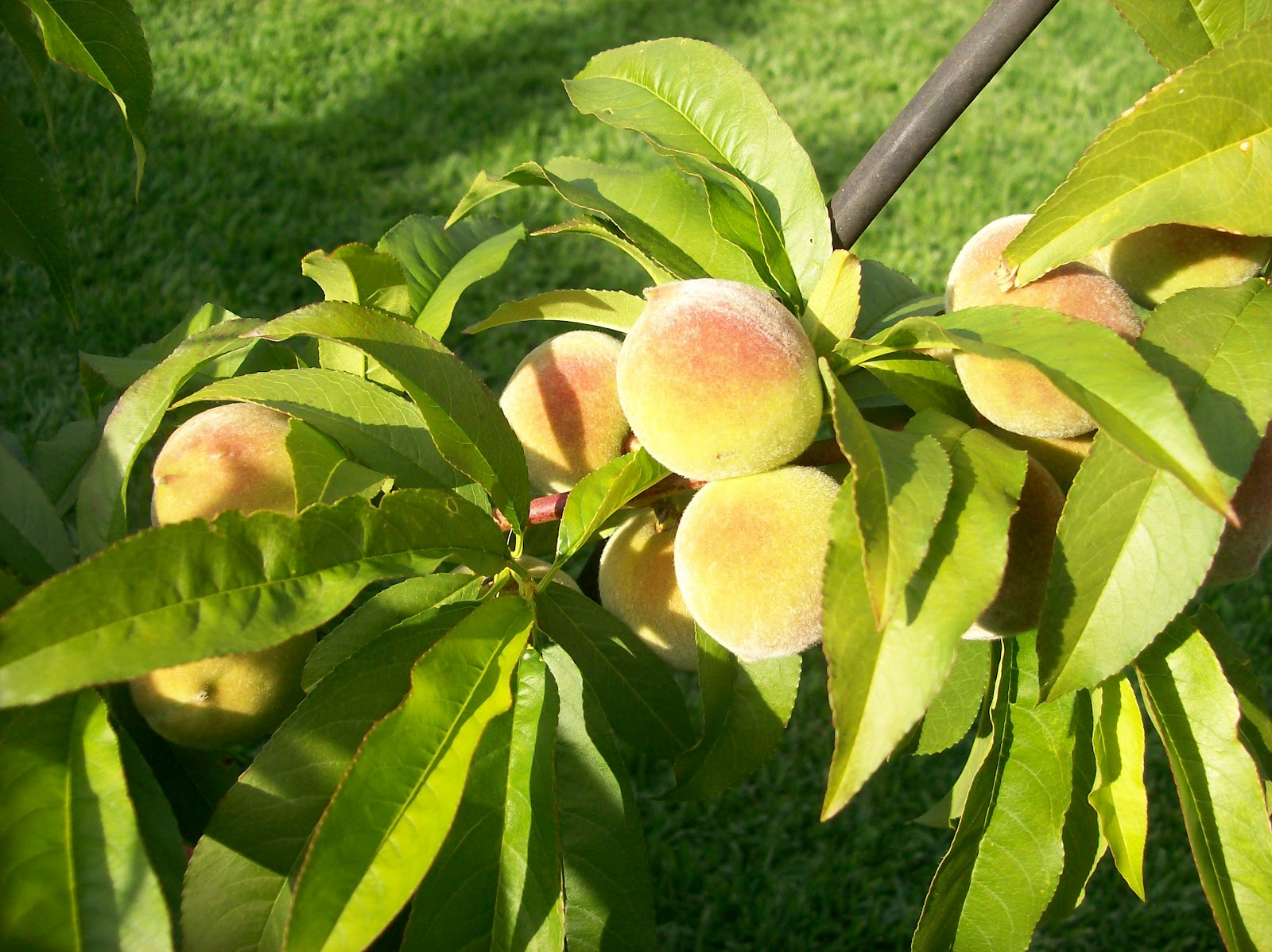 This Little Peach Was A Score Year Ago At Home Depot For 9 Last It Gave Us Three Peaches Is Quite Content In Its Pot And Only 3