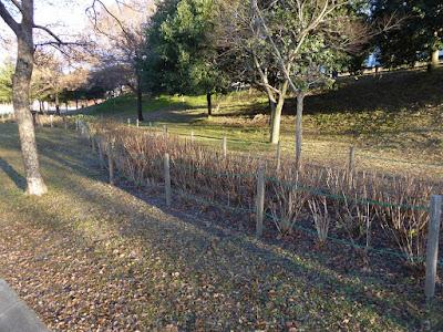 打上川治水緑地 12月の紫陽花