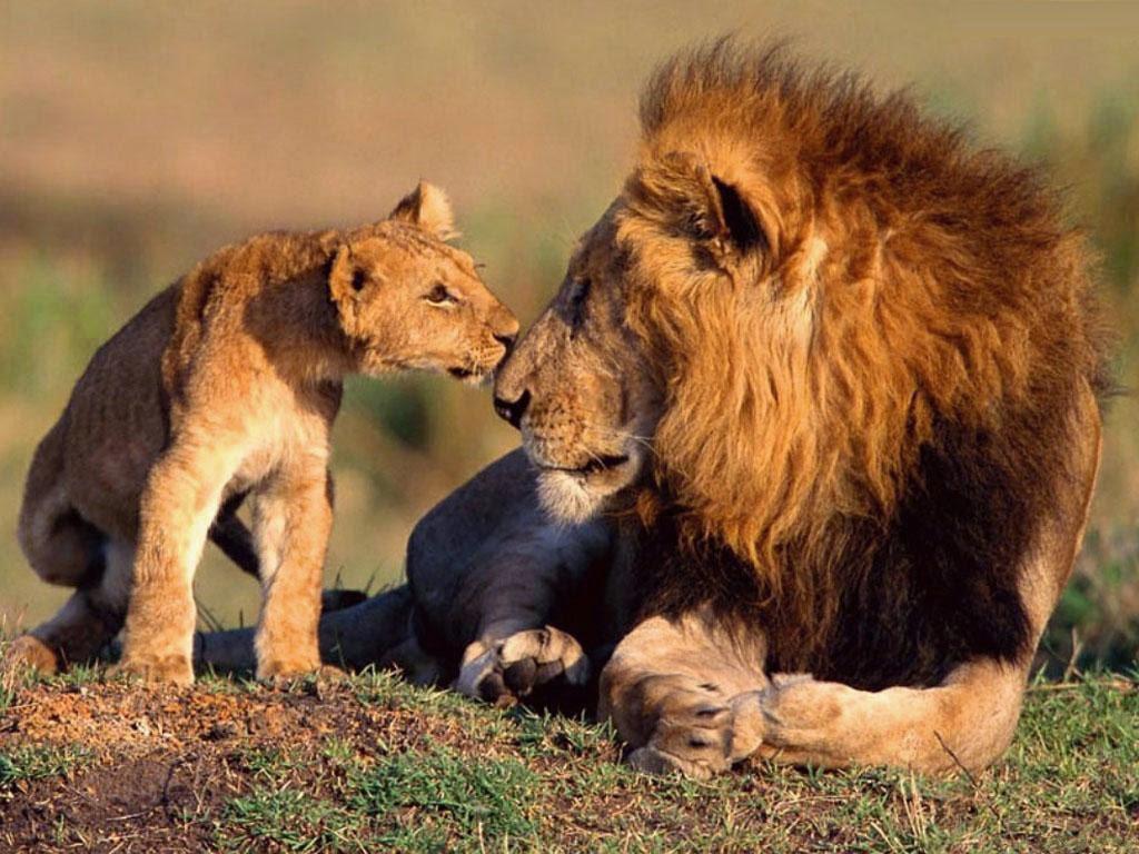 Lion family wallpaper - photo#46