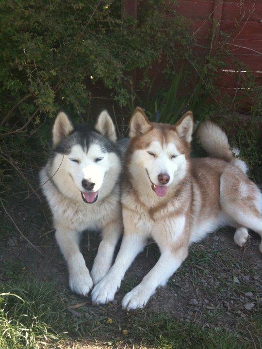 English Labrador Retriever Puppies For Sale in CA | Ruff ...