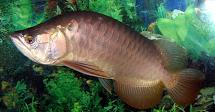n membahas satu penyakit pada Ikan arwana  Kabar Terbaru- PENYEBAB IKAN ARWANA NUNGGING - (SWIM BLADDER DISEASE)
