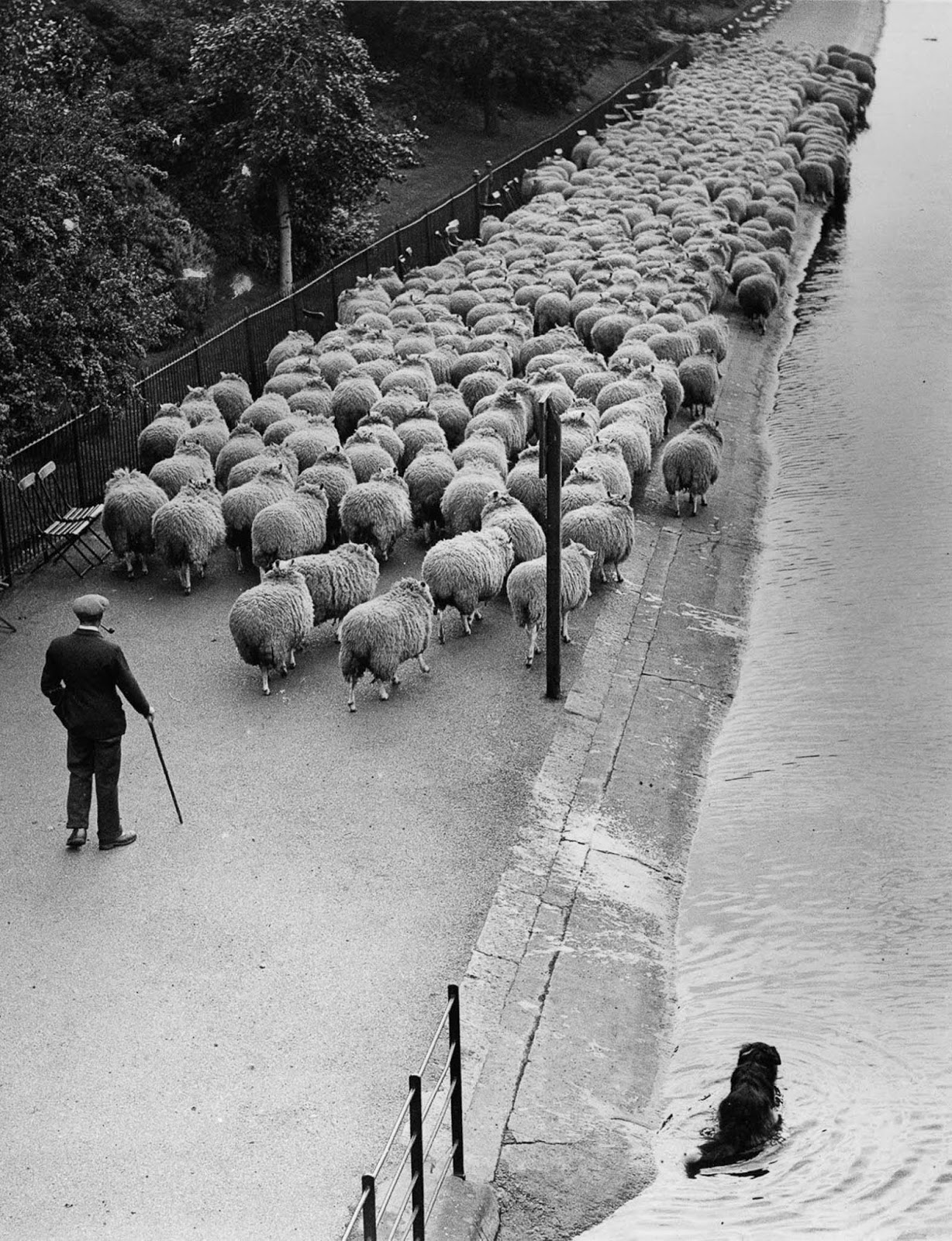 When London parks used sheep as natural lawnmowers