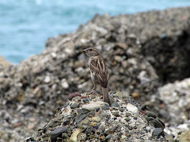 Almost camouflaged sparrow against the rocks, port of Livorno