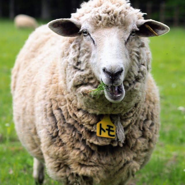 彩の国ふれあい牧場 羊