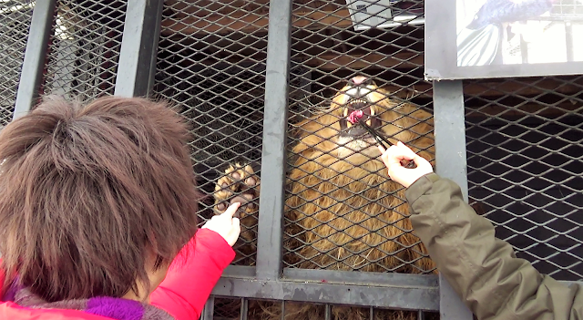 北海道 札幌 ノースサファリサッポロ ライオンの肉球タッチ体験
