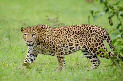 Leopard facts in hindi