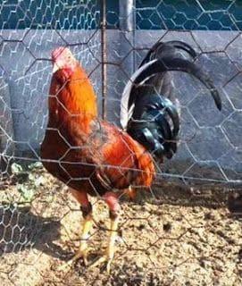 gallo de pelea español