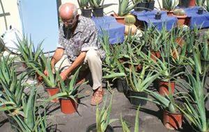 Η καλλιέργεια και η χρήση της αλόης