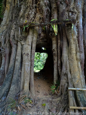 Walk Thru Tree in Pua - Nan Thailand