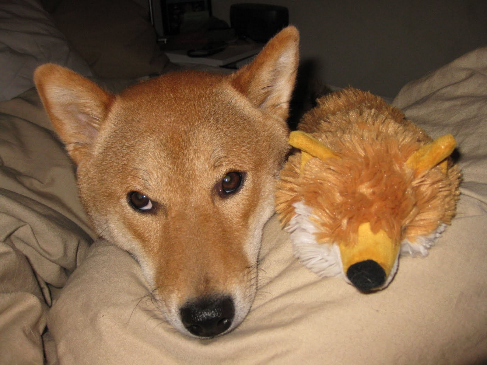 dog that looks like a fox - HD1600×1200
