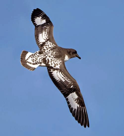 Indian bird - Cape petrel - Daption capense