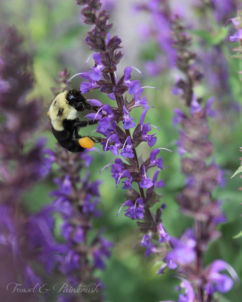 Bumble bee on purple salvia from trowelandpaintbrush.blogspot.ca