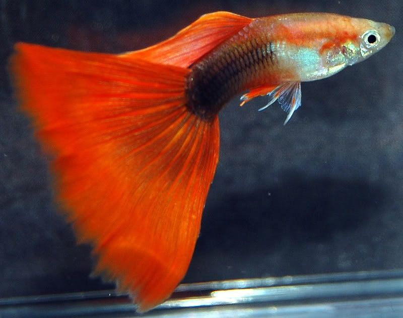 Gambar Ikan Guppy Delta Tail-Half Black Red Delta Tail Guppy