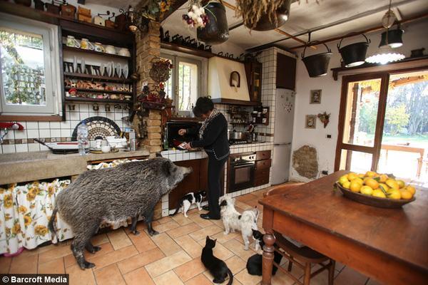 Đôi vợ chồng nuôi lợn rừng hoang dã như chó mèo trong nhà