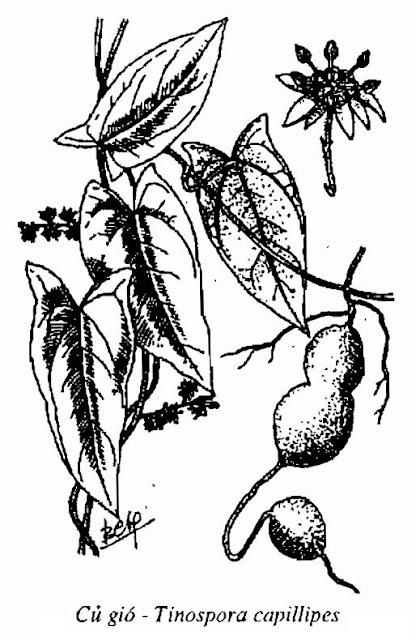Hình vẽ Củ Gió - Tinospora capillipes - Nguyên liệu làm thuốc Chữa bệnh Mắt Tai Răng Họng
