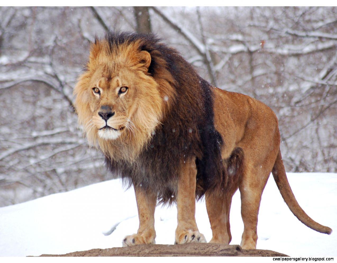Male Lion Roar Wallpaper | Wallpapers Gallery