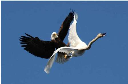 learn about bald eagle wingspan learn about bald eagle wingspan