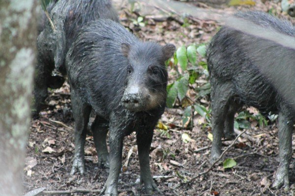 Peccaries of Mesoamerica now highly threatened, warn experts