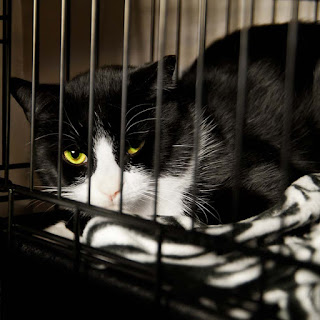 Black and white cat in shelter cage