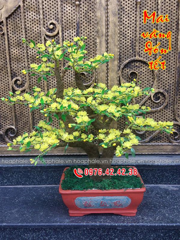 Goc bonsai cay hoa mai the huynh de tai Quan Nhan