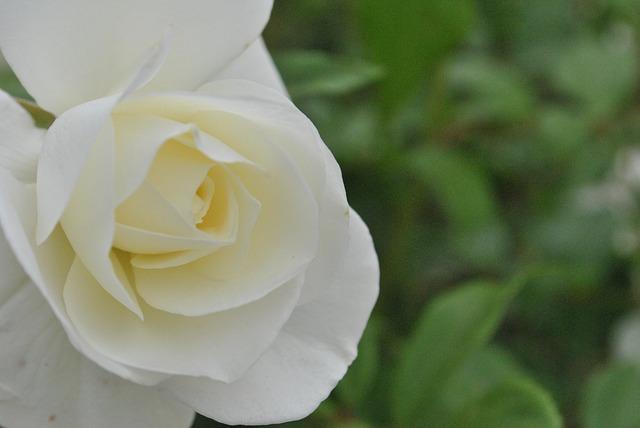 hoa hồng trắng đẹp nhất 3