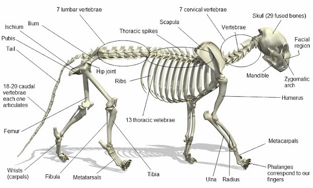 bengal tiger skeletal muscular system Sacrum Labeled Diagram to begin with the skeletal system is what keeps it upright it also protects the internal organs from injuries the bengal tiger has strong leg and jaw