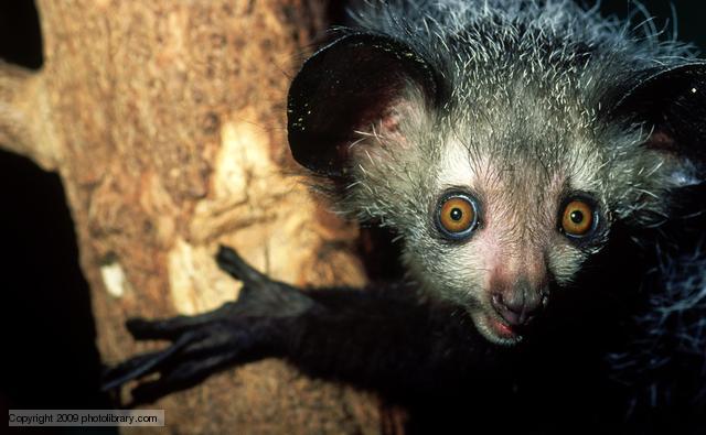 aye aye eyes animal