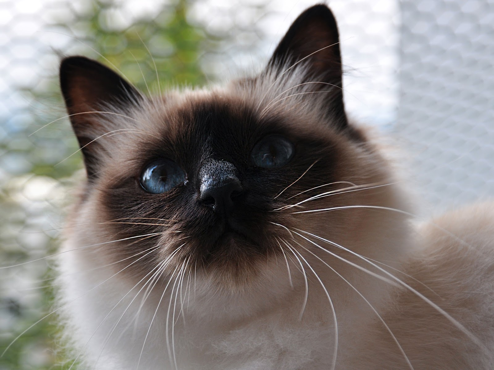 Birman Cat Wallpapers - Pets Cute and Docile
