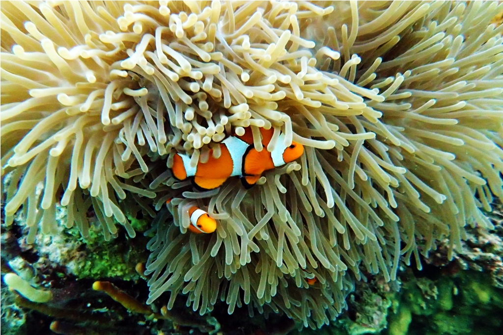 Clownfish di Pink Beach