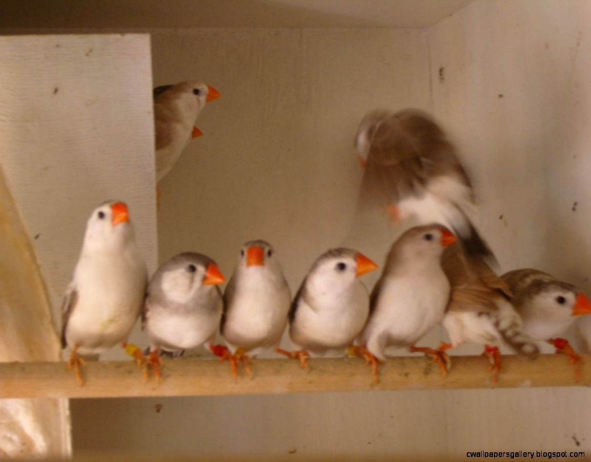 Penguin Zebra Finches  Chesterfield Derbyshire  Pets4Homes