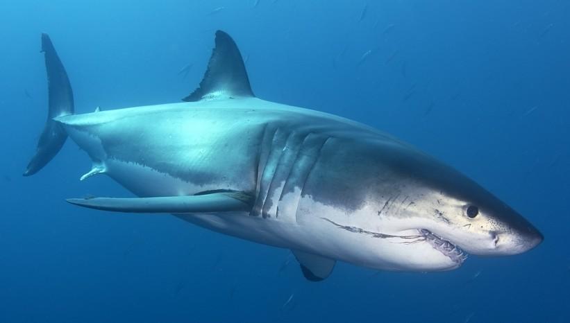 The Great White Shark El Gran Tiburon Blanco Wallpaper